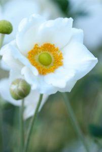 Les vivaces à floraison tardive : Gentiana, Anemone et Salvia