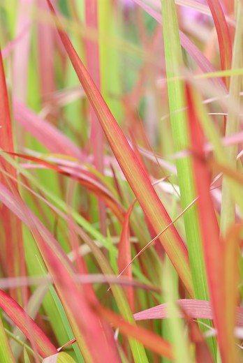 L'automne ? C'est super sympa avec des plantes vivaces : Imperata
