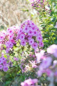 Des plantes fleuries au jardin