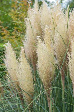 L'herbe de la pampa fait revivre votre jardin image