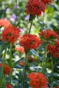 Des plantes vivaces spectaculaires au jardin ensoleillé