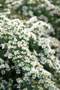 L'aster : Aster ericoides 'Snowflurry' et Aster lateriflorus 'Horizontalis'