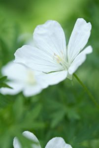 Les plantes vivaces au soleil : Delphinium, Geranium et Origanum