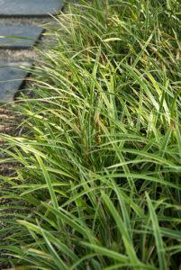 Les couvre-sol à feuilles persistantes