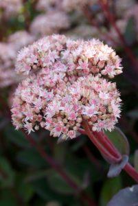 Les plantes nectarifères