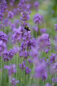 Les plantes nectarifères jardin