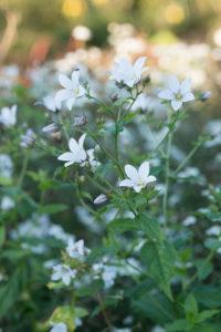 Plantes vivaces à fleurs