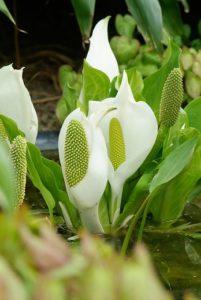Plantes aquatiques pour un étang de rêve
