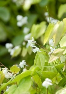 plantes à feuilles persistantes