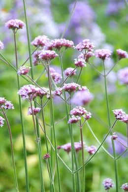 Bloeiende tuinplanten? Vaste planten…